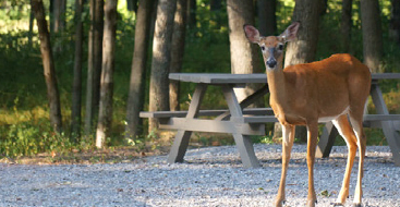 Picnic table with a deer standing in front of it.